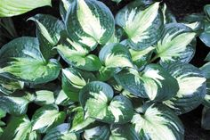 MIDNIGHT AT THE OASIS HOSTA PLANT thick white center with dark green border