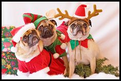 Christmas pugs, for my friend Laura!