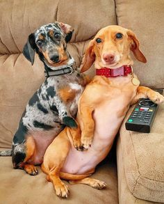 Dachshund Puppies, Dachshund Love, Cute Puppies, Dachshunds, Art Beagle, Really Cute Dogs, Weenie Dogs, Dog Pictures, Funny Dachshund Pictures