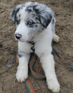 Seven the Border Collie (Blue Merle border!!)