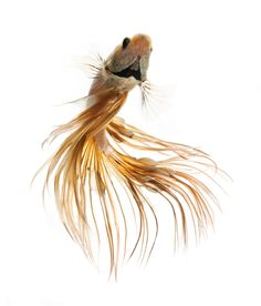 gold betta fish  by visarute angkatavanich on 500px