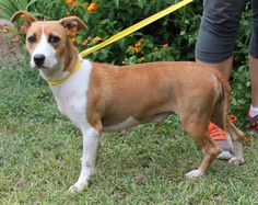 Mia is a 1-year-old female Jack Russell/Bull Terrier mix who has already been spayed.  She is brown with the most beautiful white markings!  Her little ears are just adorable and work like radar as she listens to what is going on around her at the...