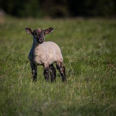 sheep - Scotland, 2008