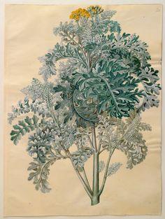 """Senocio bicolor,"" by Johannes Simon Holtzbecher (1649-1659)"