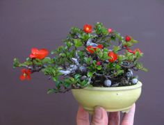 Flowering Bonsai - Quince in early February Mame Bonsai, Bonsai Seeds, Bonsai Plants, Potted Plants, Air Plants, Cactus Plants, Garden Trees, Trees To Plant, Succulents Garden