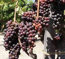 Grape plant root system conditions for growing wine grapes,how do grape plants grow grape plant leaves turning red,grape hyacinth planting house plant grape vine. Grape Trellis, Grape Arbor, Grape Plant, Plant Table, Growing Grapes, In Vino Veritas, Fruit Trees, Grape Vines, Gardening Tips