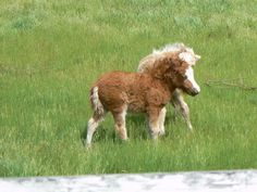 Miniature horses baby colts!