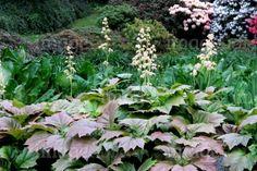 RODGERSIA podophylla - Bronceblad, farve: creme, lysforhold: halvskygge/skygge, højde:80 - 130 cm, blomstring: juli - august.