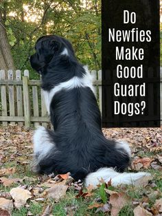 Newfoundlands aren't known for being a watchdog or guard dog but due to the strong bond that they have with their owners, they can be very protective of their family. Dog Breeds By Size, Best Guard Dog Breeds, Best Guard Dogs, Dog Breeds List, Cute Dogs Breeds, Newfoundland Puppies, Dog Crossbreeds, Expensive Dogs, Loyal Dogs
