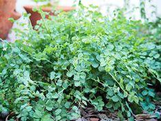 Salad Burnet: An Herb That Tastes Like a Cucumber