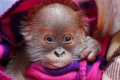 Adorable Baby Rieke Orangutan