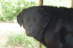 NOA   Type : Beauceron Sexe : Mâle Age : Adulte Couleur : Noir  Taille : Grand Lieu : Var - 83 (Provence-Alpes-Côte d'Azur)  Refuge :  Refuge SAM 83(Var) Tél : 06 86 35 93 83             (Né en 2012)        Noa est un croisé Beauceron. Il adore jouer avec tout ce qu'il trouve! Il est très énergique et a besoin de se dépenser. Il peut s'entendre avec d'autres chiens.