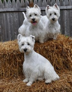 pictures I took after grooming - Diane's Westies