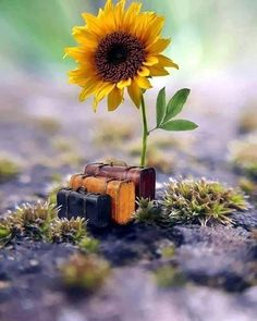 ideas for wallpaper celular flores girasol Wallpaper Iphone Cute, Flower Wallpaper, Cute Wallpapers, Wallpaper Backgrounds, Miniature Photography, Cute Photography, Happy Flowers, Beautiful Flowers, Beautiful Collage