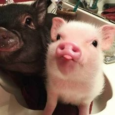Images Of Cute Animals To Color into Cute Baby Animals Funny & Cute Animals Baby Video at Cute Christmas Animals Photos though Cute Images In Animals Cute Baby Pigs, Cute Piglets, Baby Animals Super Cute, Cute Little Animals, Cute Funny Animals, Baby Piglets, Baby Animals Pictures, Cute Animal Pictures, Humorous Pictures