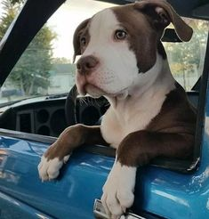 Looking like my Boober. #pitbulls #dogs Amstaff Terrier, Pitbull Terrier, Bull Terriers, Cute Puppies, Cute Dogs, Dogs And Puppies, Doggies, Sweet Dogs, Animals And Pets