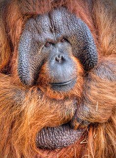 Benji the Orangutan All Rights Reserved