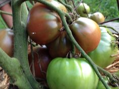 Tomatoes ripening. Tomatoes, Life Is Good, Vegetables, Food, Essen, Life Is Beautiful, Vegetable Recipes, Meals, Yemek