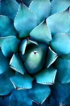 En plain air: Succulent Succulent by Alan Shapiro Blue Succulents, Succulents In Containers, Planting Succulents, Planting Flowers, Agaves, Garden Care, Cactus Flower, Cactus Plants, Deco Floral