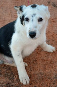 You would think Kade is brothers with another dog we had named Spud. He looks just like Spud but with black spots. Kade is a young 5 month old pup looking for a great family to work with him, take him on hikes, car rides and a warm cozy bed to sleep...