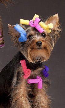 funny yorki dog puppy