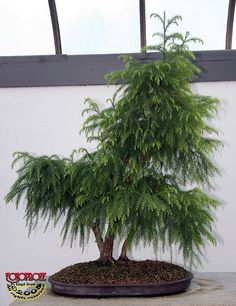 Chinese Cedar Bonsai...60 years old - Cryptomeria japonica var sinensis - Taxodiaceae - 60 years old- Donated by the Government of China - Collection de/of Jardin Botanique de Montreal Botanical Gardens - Greenhouse
