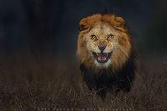 Fotografo escapa de leão