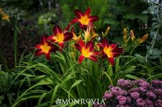 Monrovia's Ruby Spider Daylily details and information. Learn more about Monrovia plants and best practices for best possible plant performance.