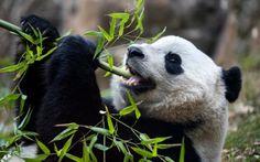The Smithsonian's giant panda cub Bao Bao eats bamboo on her final morning at the National Zoo in Washington, DC, USA