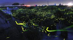 Japanese hobby photographer Tsuneaki Hiramatsu used time-lapse photography techniques to take numerous continuous long-exposure shots of fireflies at night in southern Okayama