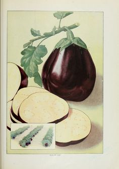 """Eggplant. Artemis Ward, (1911), """"The Grocer's Encyclopedia"""" ; also """"Encyclopedia of Foods and Beverages"""""""