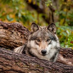 "beautiful-wildlife: ""Wolf Portrait by © oldwolfphotography "" Wolf Spirit, Spirit Animal, Beautiful Creatures, Animals Beautiful, Malamute, Animals And Pets, Cute Animals, Wild Animals, Baby Animals"
