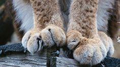 Ilveksen tassutLynx paws photo by Hannu Hautala