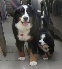 Bernese Mountain dogs, Reggie with young Baz...how cute is he???
