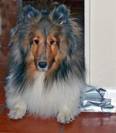 Love how this sheltie is colored looks like a painting