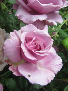 On the garden path: A day at the Portland Rose Garden