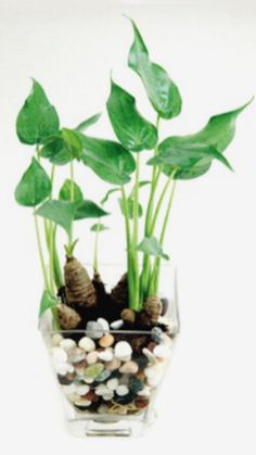 A tuber can grow hydroponically if you dont let the tuber soak in water. Water Plants Indoor, Bamboo Plants, Aquatic Plants, Container Water Gardens, Container Gardening, Plants In Bottles, Household Plants, Wood Plant Stand, Inside Plants