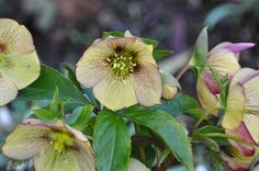 Great picture by Lotus Johnson of the Yellow Helleborus - Kerstster | Flickr - Photo Sharing!