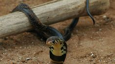 African forest cobra
