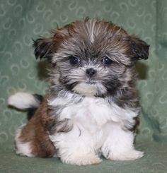 Tinker is our new Shorkie Puppy. Isn't he just adorable?