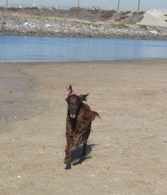 Coolest dog ever . . . . Patrick at the River Jetty in Newport Beach! Miss him! #irishsetter #irishsetters #irishsettersofpinterest #bestdogever