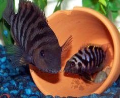 Convict Cichlids 1 male, 1 female (50gal Fresh water)