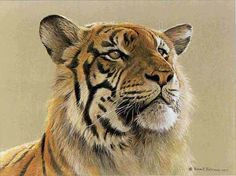 Tiger Paintings On Canvas | We represent the entire collection of Robert Bateman.