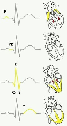 Experiment: Monitor Your Heart Rate with the SpikerShield Electrocardiogram (ECG) Nursing School Notes, Medical School, Nursing School Humor, Funny Nursing, Nursing Schools, Nurse Humor, Or Nurse, Lpn Schools, Ob Nursing