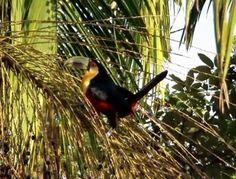Conheça 15 pássaros da Mata Atlântica | Superinteressante