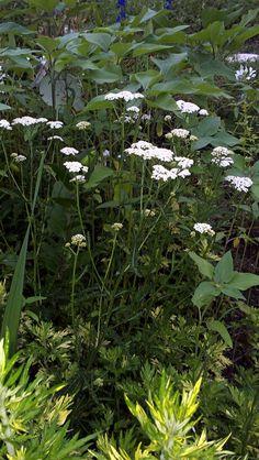 Yarrow in my white garden