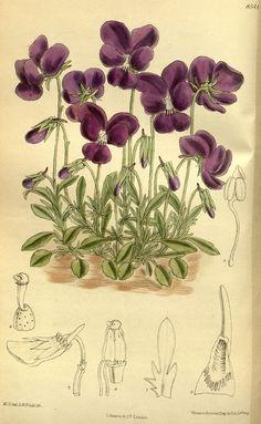 steelylaceribbon:  Matilda Smith and John Nugent Fitch, Curtis's Botanical Magazine, Vol. 140, Viola gracilis, (1914)