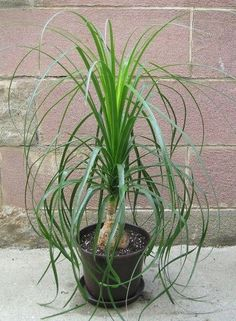 Care Instructions For Ponytail Palm – Tips For Growing Ponytail Palms  ~ via Gardeningknowhow.com/houseplants/ponytail-palm/ponytail-palm-care.htm
