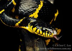 งูปล้องทอง 'Mangrove snake' (Boiga dendrophila)