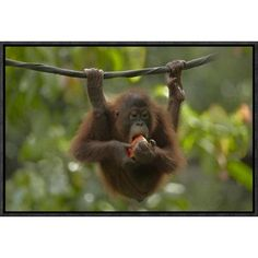 Global Gallery Orangutan Young Eating Fruit, Sabah, Borneo, Malaysia by Tim Fitzharris Framed Photographic Print on Canvas Size: